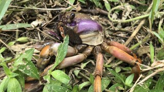Crab invasion caught on camera in Port St. Lucie
