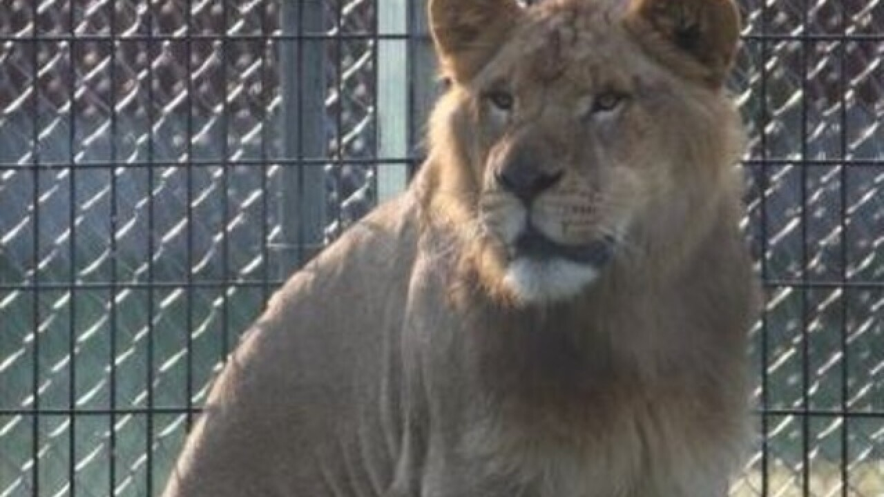 NEW Zoo welcomes new lion