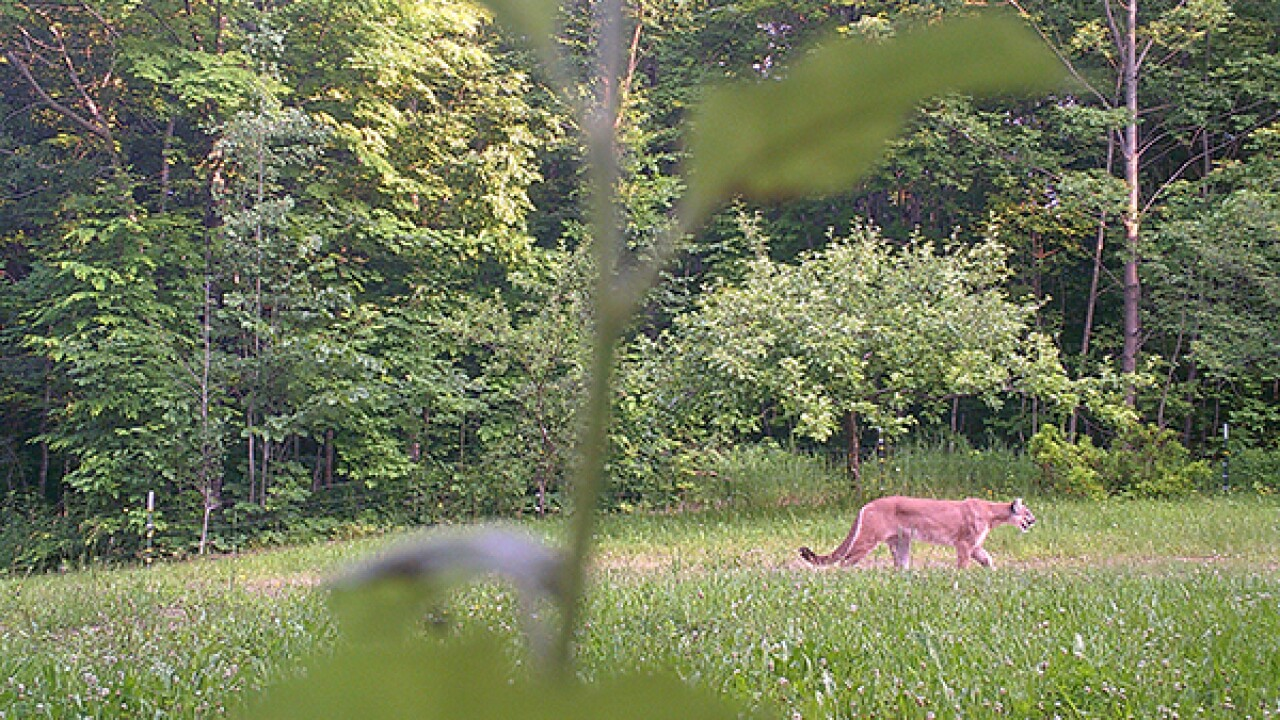 Michigan DNR confirms new cougar sighting in Michigan