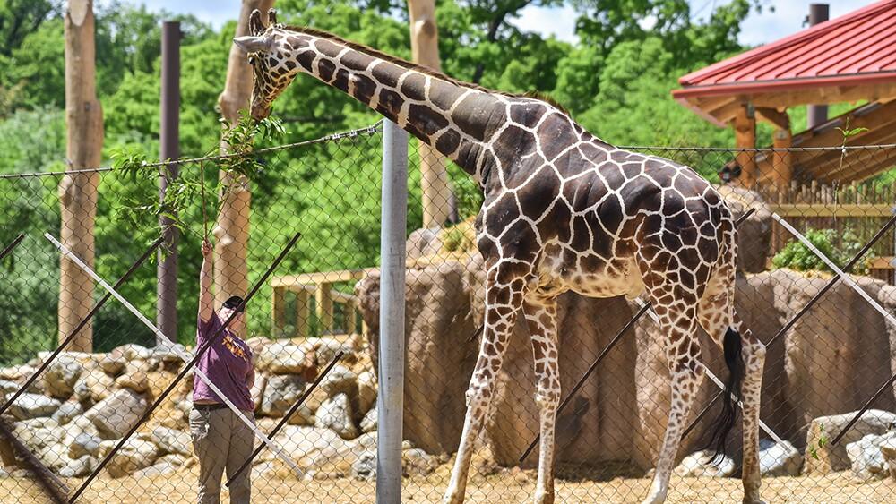 Caesar the giraffe at The Maryland Zoo (3).jpg