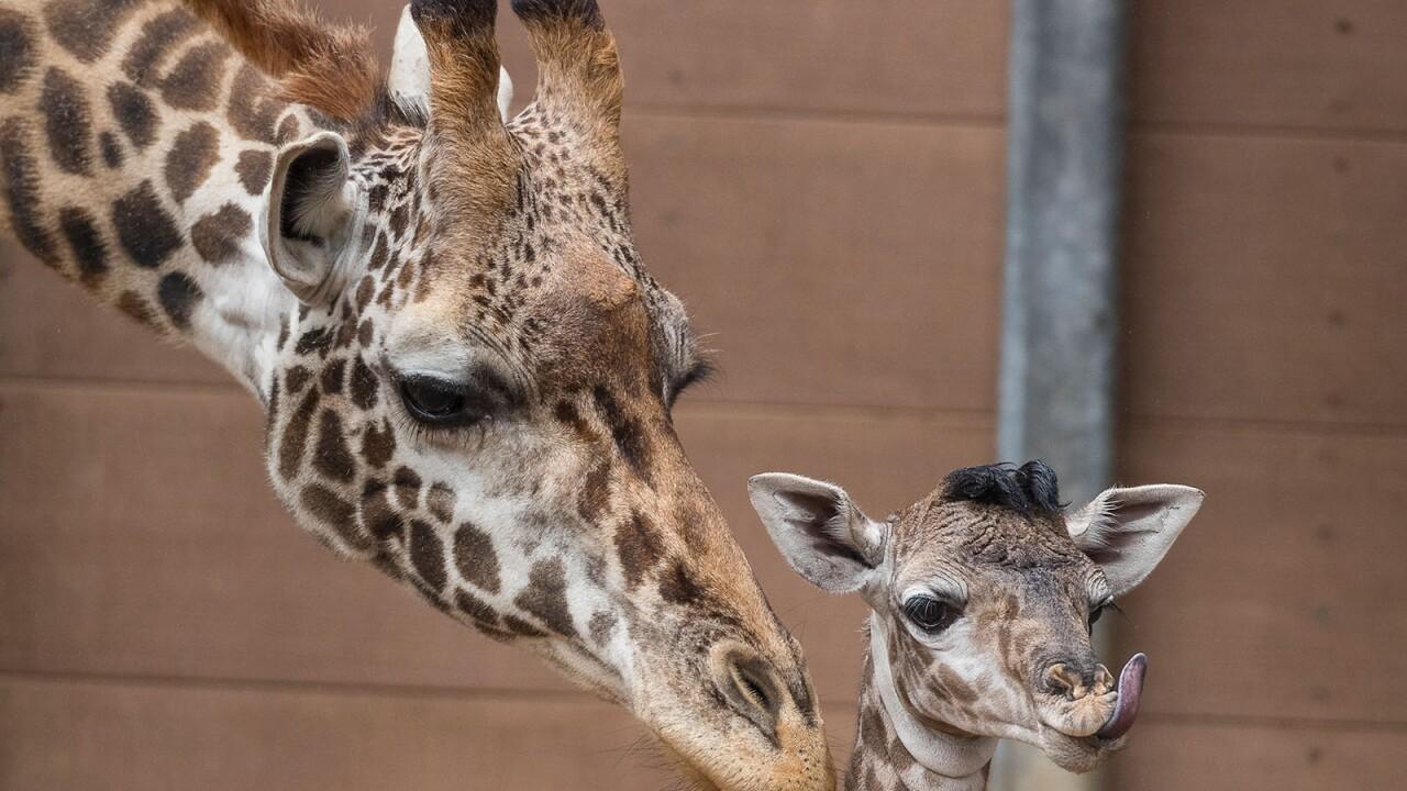 Giraffe_001_Web.jpg