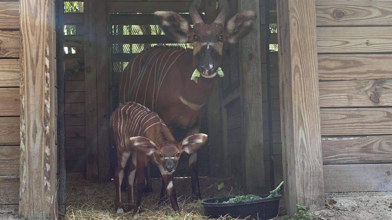 endangered-Eastern-Bongo-antelope-ZooTampa-1.jpg