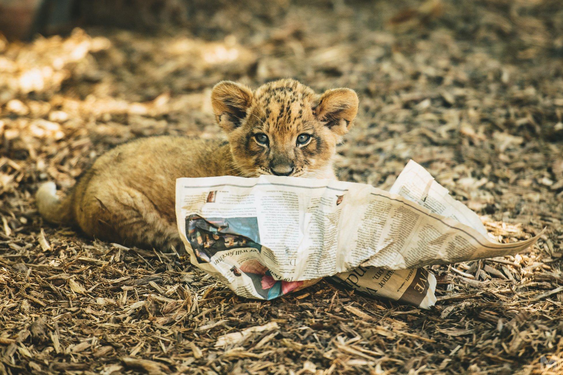 Lion Cub_1_Molly McCormick.jpg