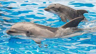 Dolphin Calf Born At SeaWorld San Diego