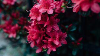 rhododendron sudden oak disease