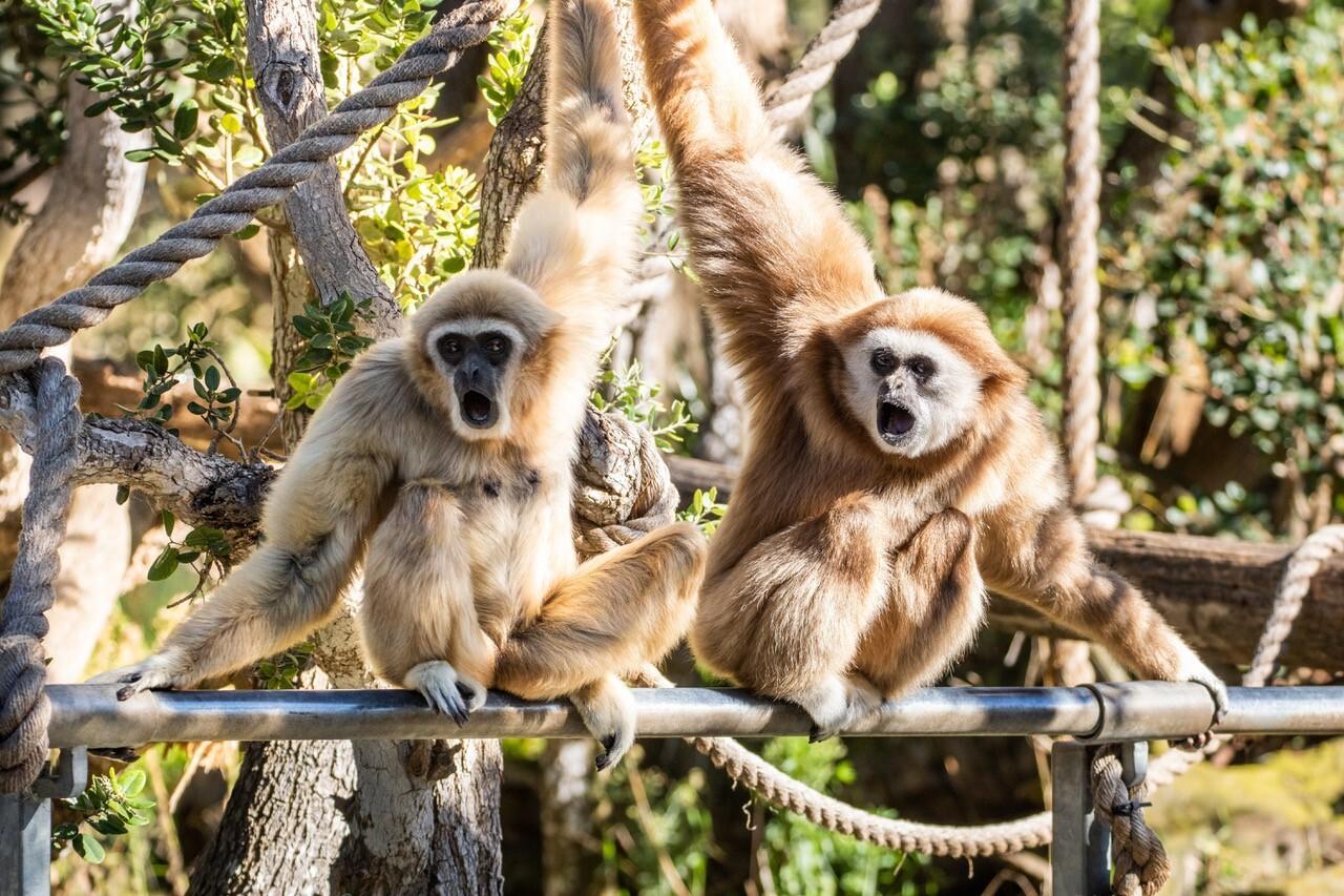 Zoo gibbons.jpg