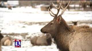 Uniquely Utah: Elk aplenty at Hardware Ranch