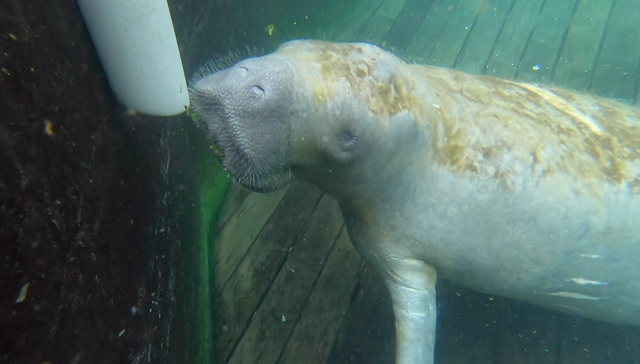 Manatee under water.png