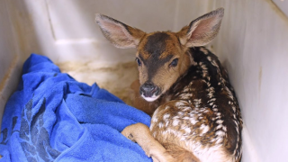 pregnant does gives birth to fawn before dying