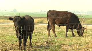 cow cows