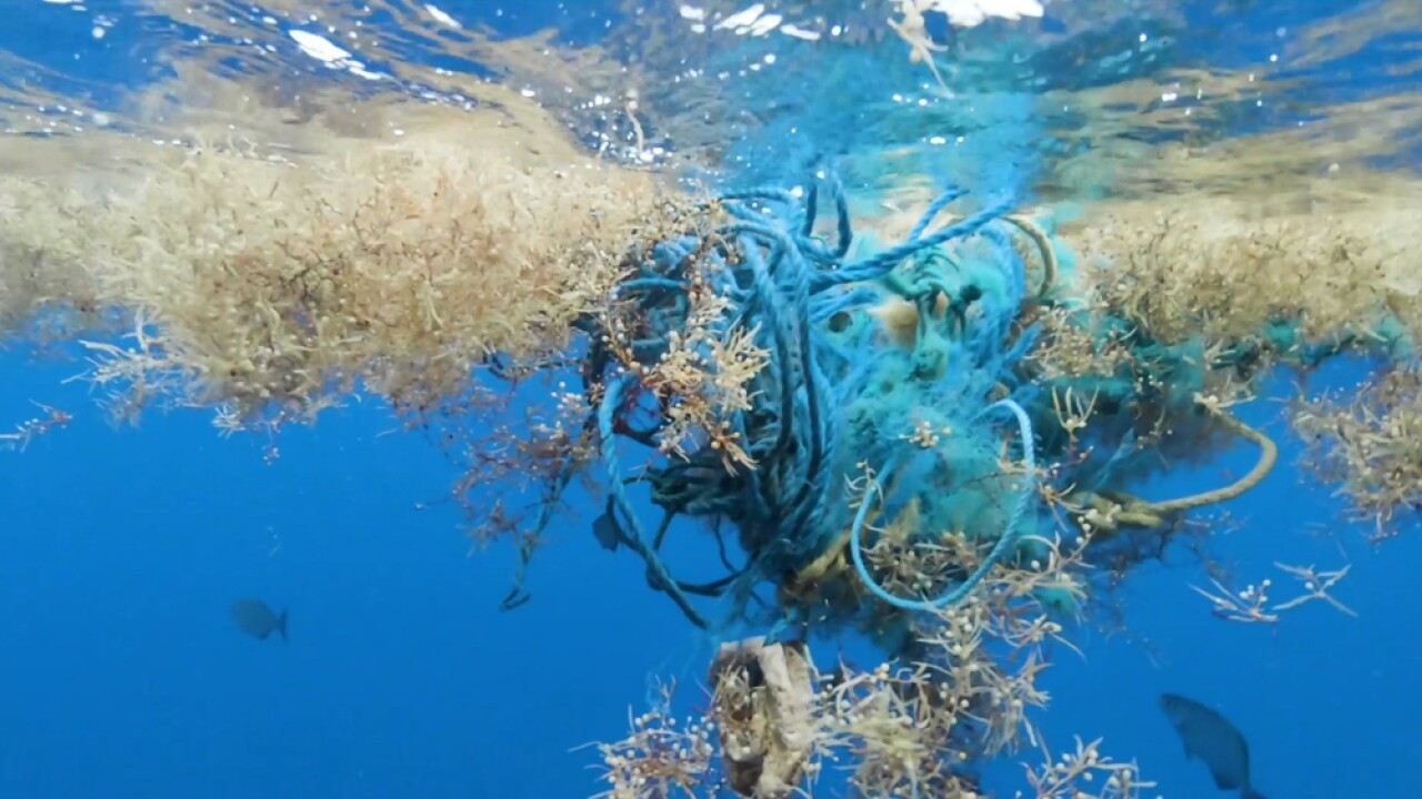 Embedded in most of the sargassum are the easily visible pieces of trash: shampoo bottles, fishing gear, thick hard containers or thin soft bags amongst many other types of plastic.