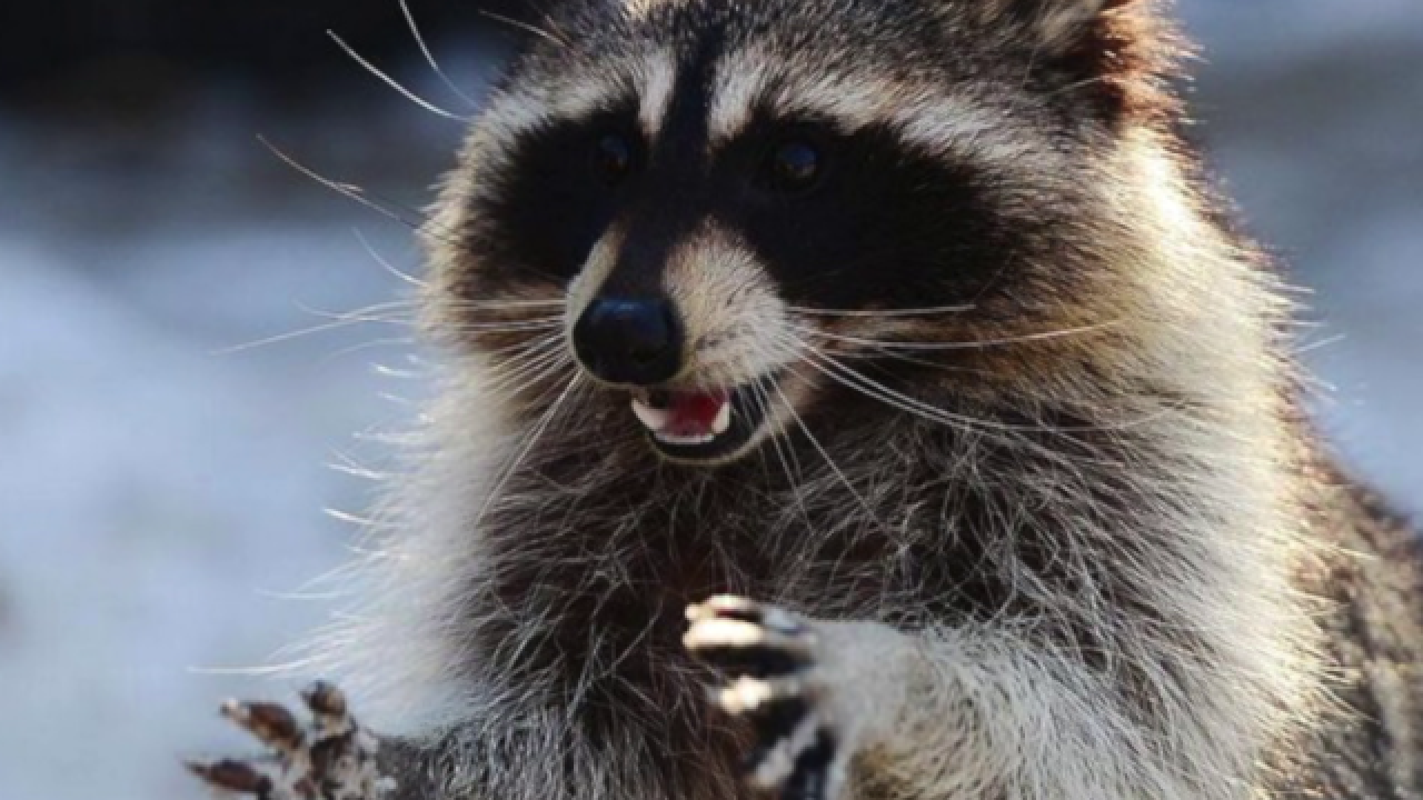 Raccoon tests positive for rabies, third animal to test positive in Polk County this year