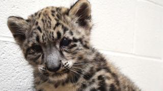 Akron Zoo snow leopard cub