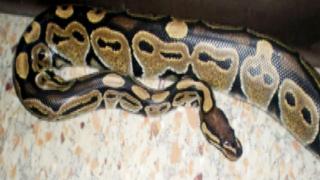 Florida Fish and Wildlife explores new ways to control python population