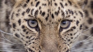 Hogle Zoo explains how leopard escaped from herenclosure