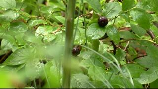 USGS developing special huckleberry program in Montana