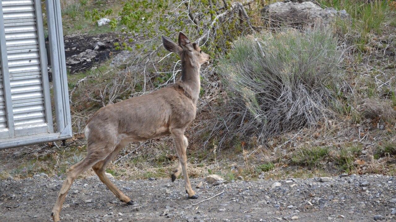 Collared deer
