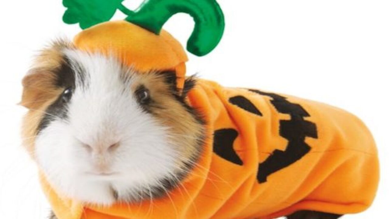 PetSmart Has An Adorable Line Of Guinea Pig Halloween Costumes