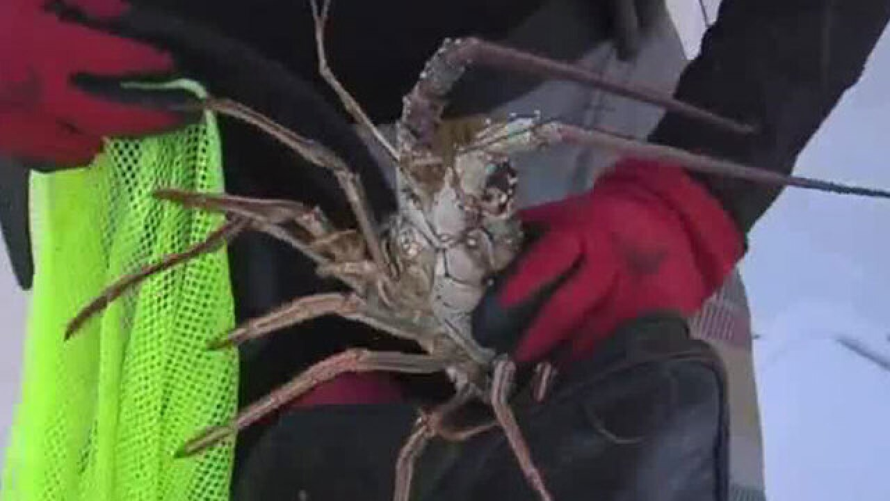 Lobster mini-season begins Wednesday