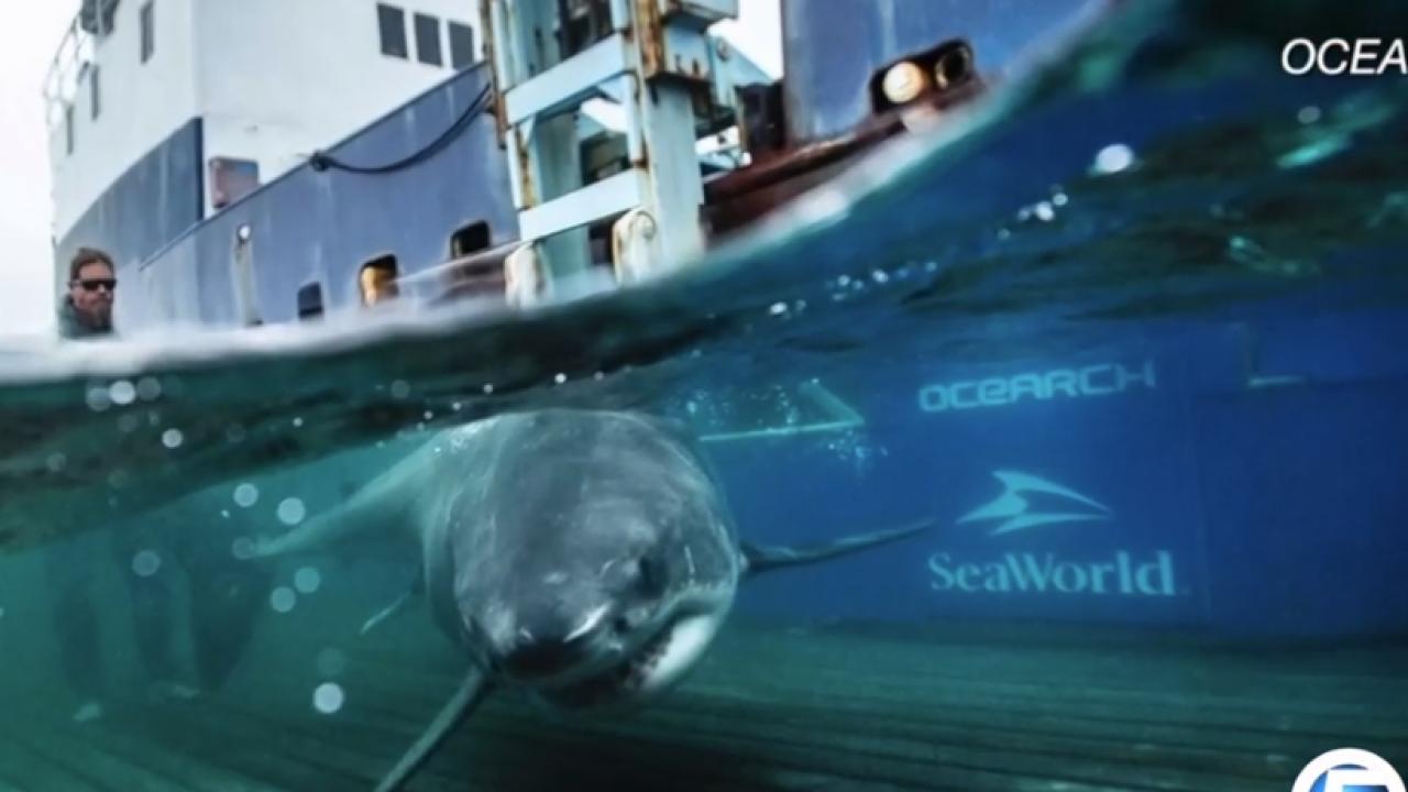 wptv great white shark.PNG