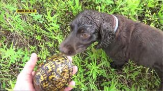 Rucker has trained his Boykin Spaniels to track turtles
