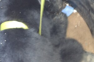 Bear rescue from culvert_Aug 25 2020