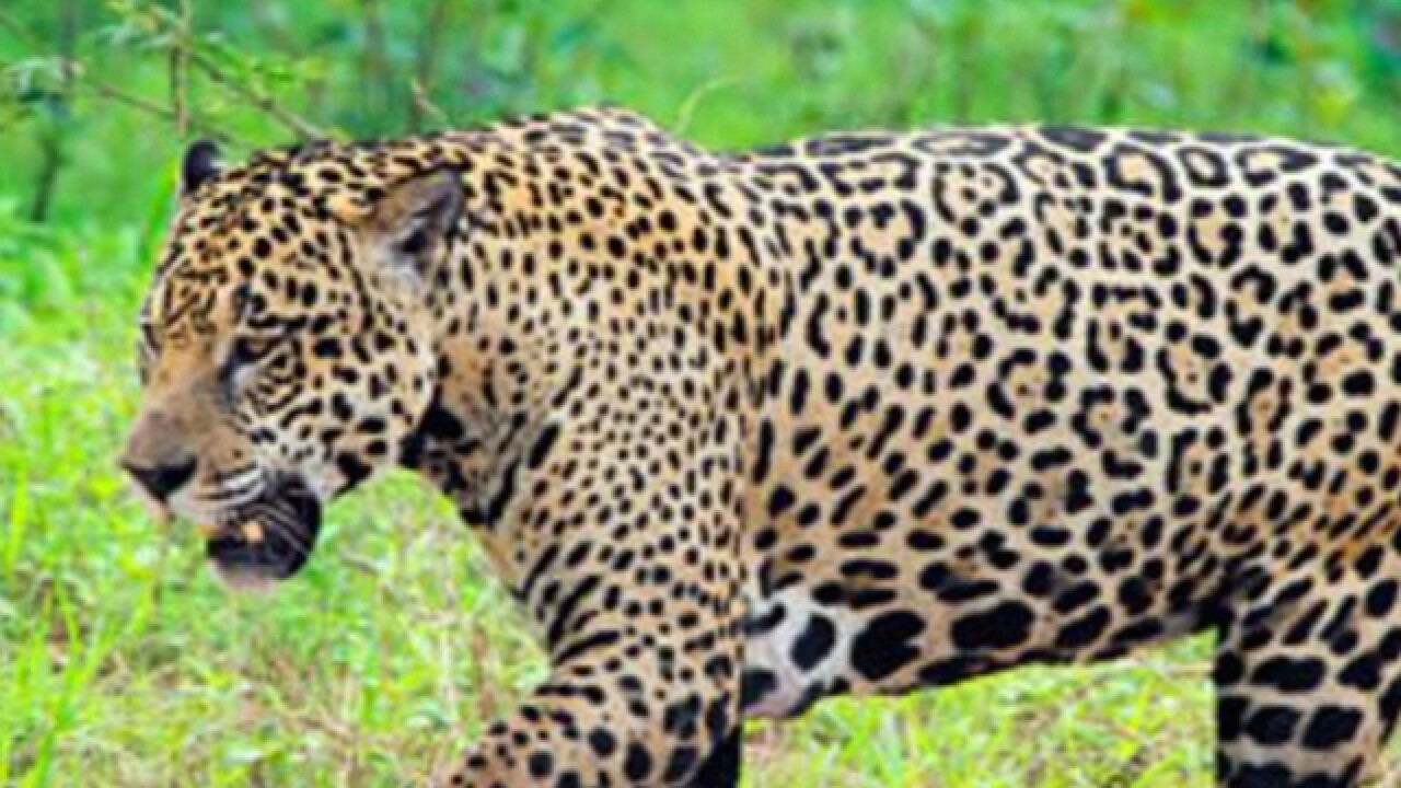Jaguar from Olympic torch event shot, killed at Brazil zoo on military base