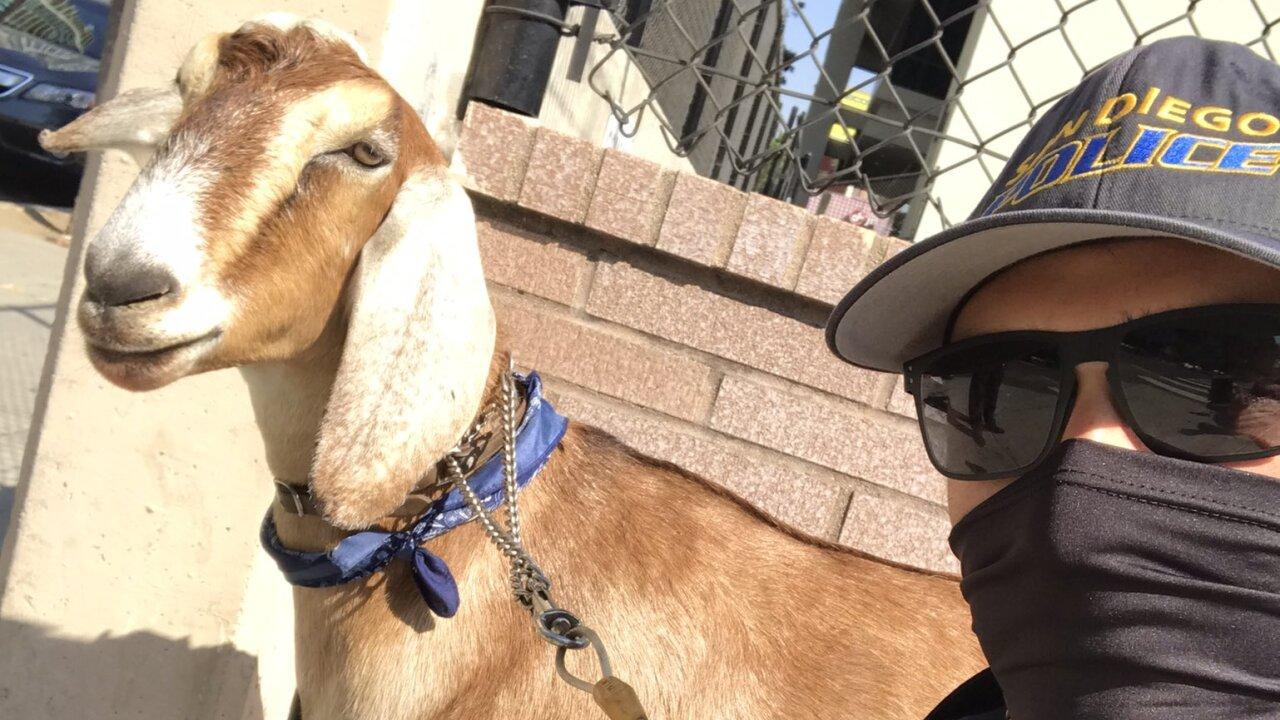 sdpd goat 10_4_2020_2.jpeg