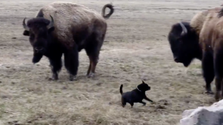WATCH: Small dog runs around bison in Yellowstone National Park