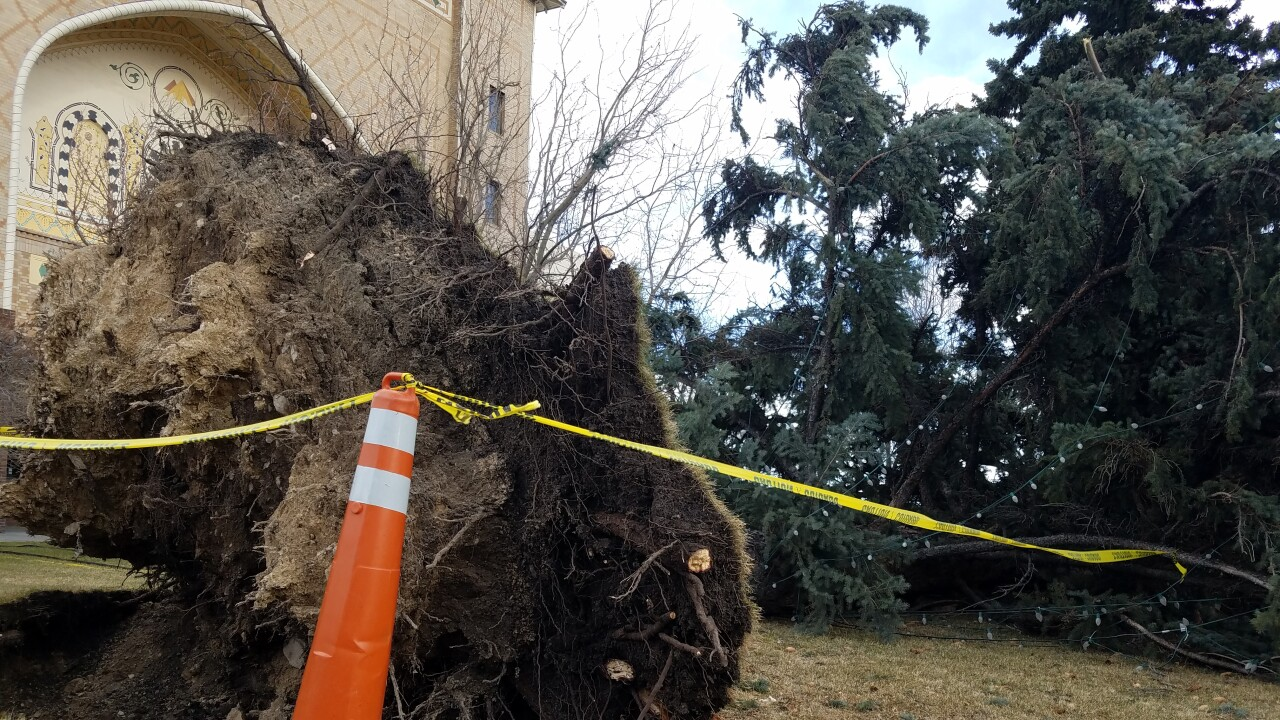 Large pine at the Helena Civic Center uprooted