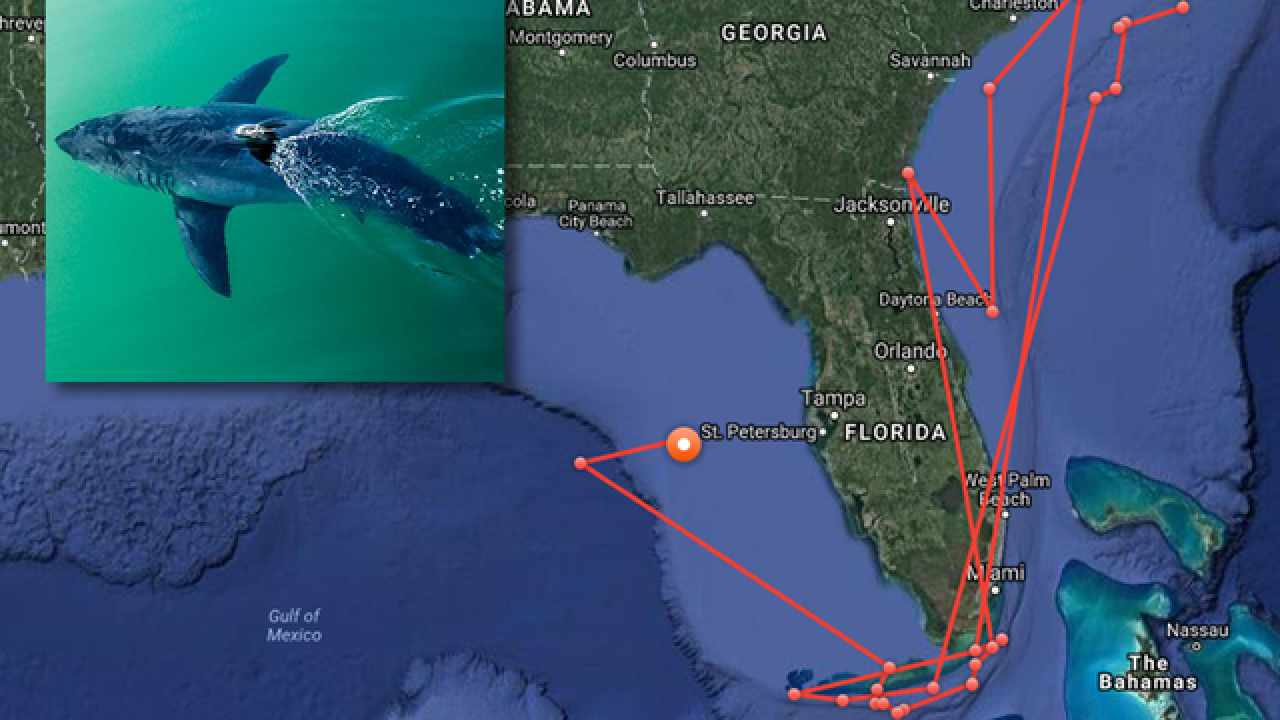 12-foot-long white shark pings off Florida's Gulf Coast on New