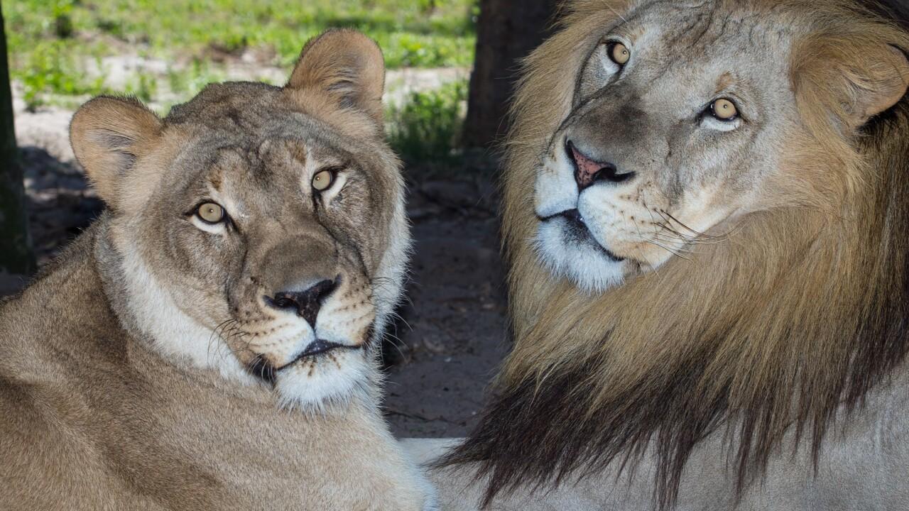 nz-sa-lions.jpg
