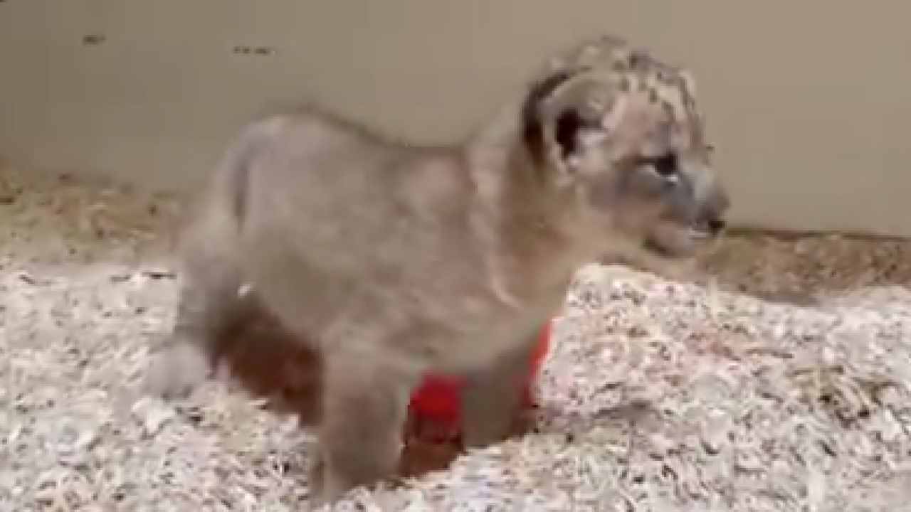 You can now vote to name the Denver Zoo's new lion cub
