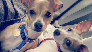 Stolen Chihuahuas