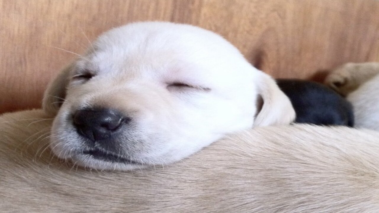 10 most popular dog breeds in America
