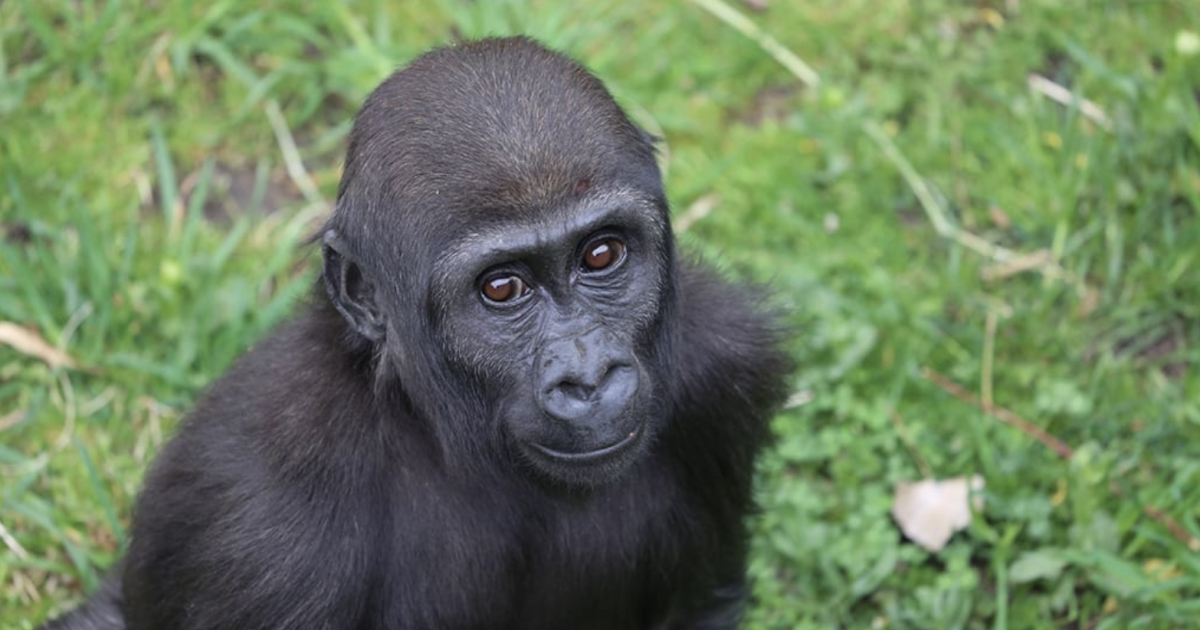 Denver Zoo to welcome new troop of gorillas in March