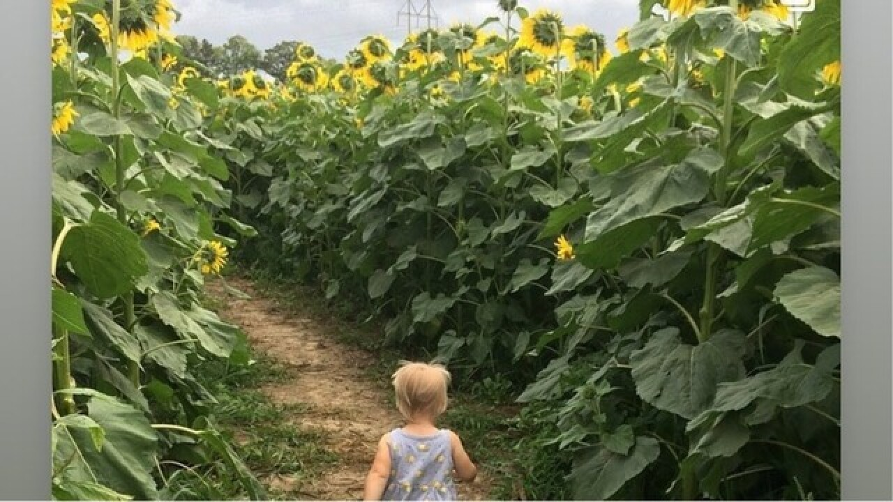 Baraboo farm offering 7-acre sunflower maze starting next week