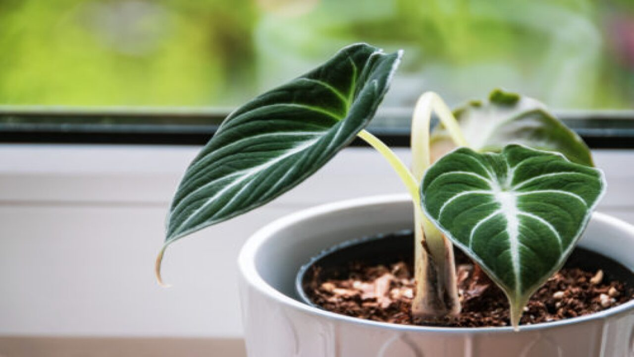 How To Use A Chopstick To Get Healthier Houseplants