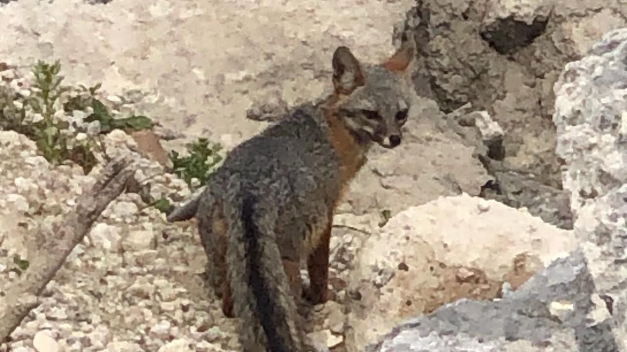 san diego humane foxes.jpeg