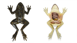 synthetic-frog.png