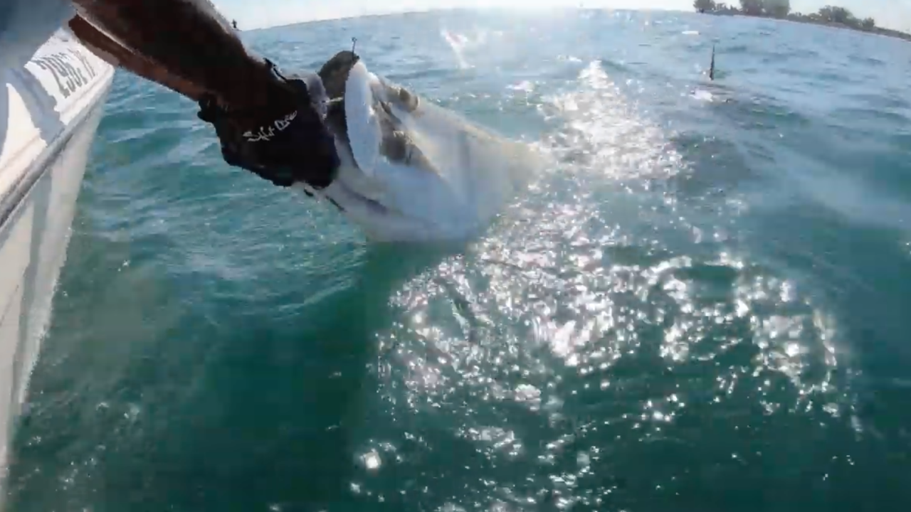VIDEO: Massive hammerhead shark in Florida steals tarpon from man's hands