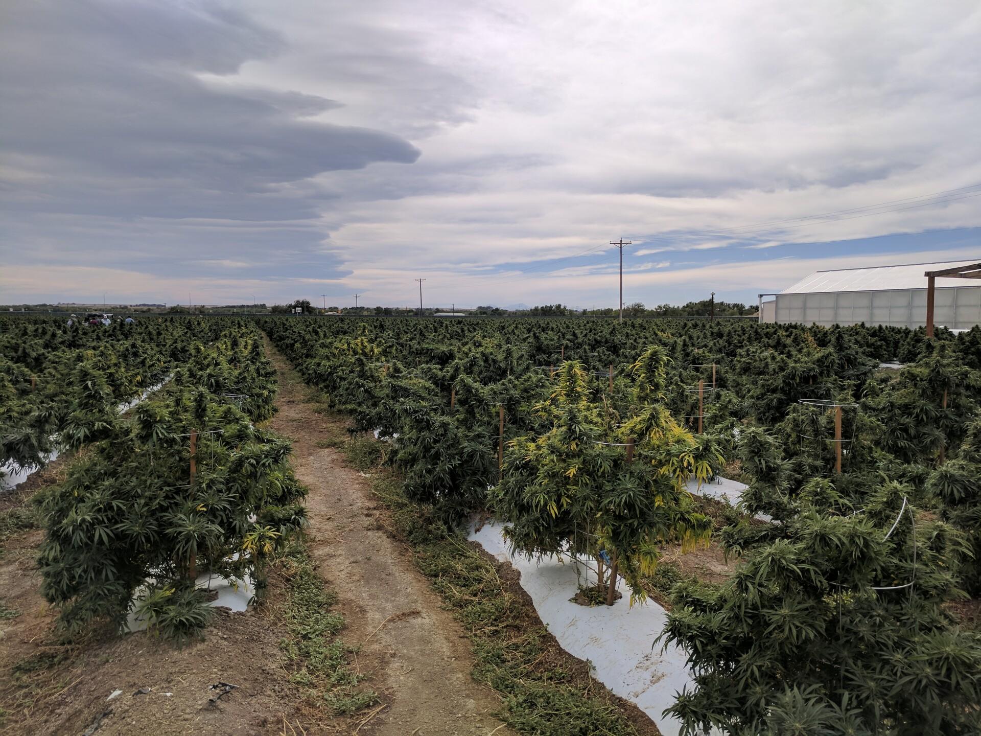 Los Suenos Marijuana Farm