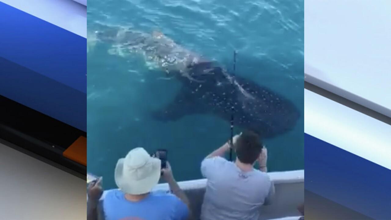 Fishermen treated to rare whale shark sighting off Fort Pierce marina