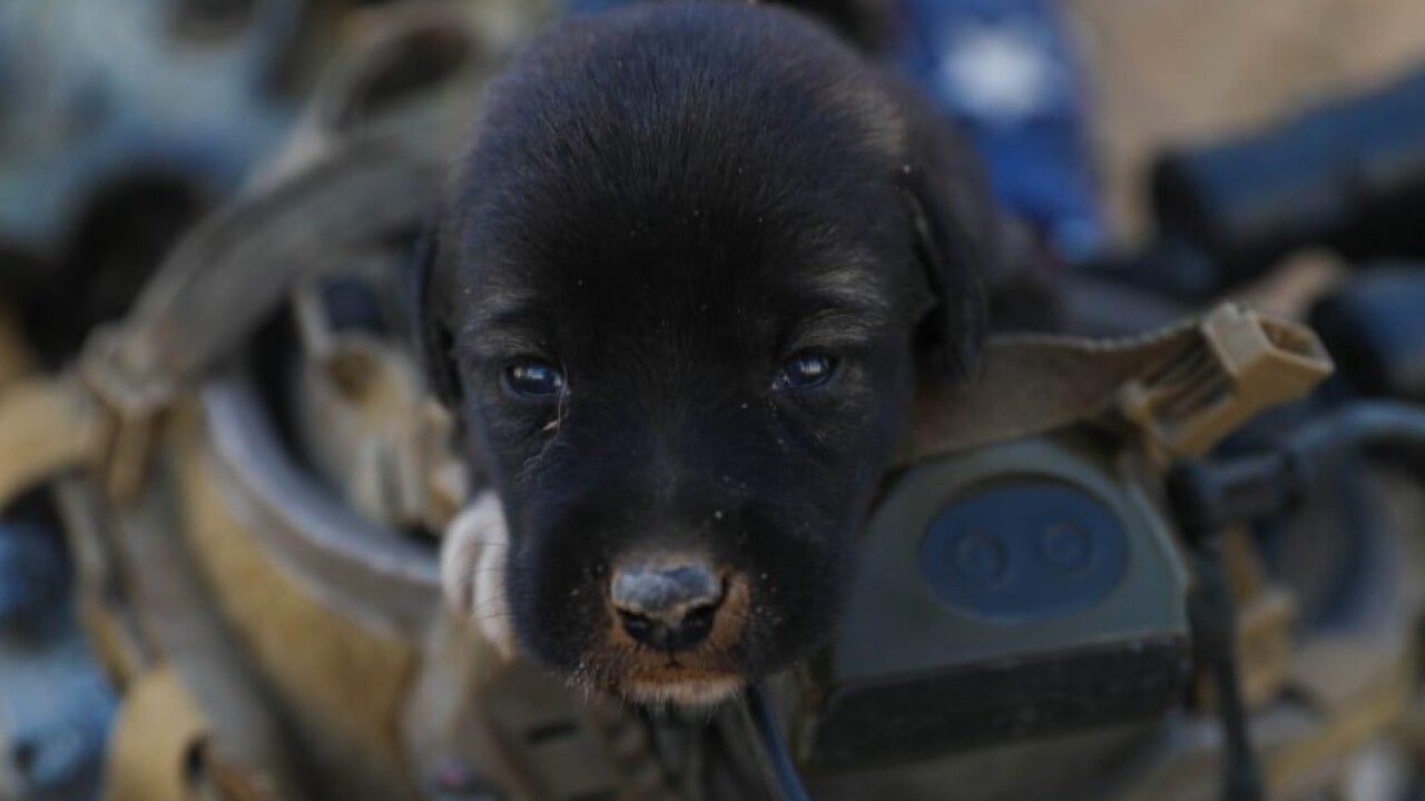 Soldiers rescue puppies in Afghanistan, and you can help bring them home