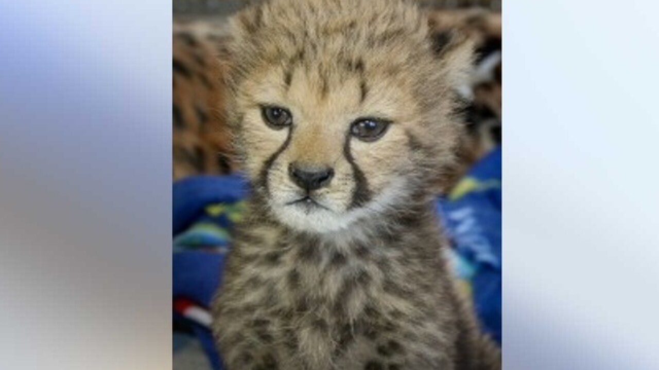 Oregon cheetah cub is homeward bound to Cincy