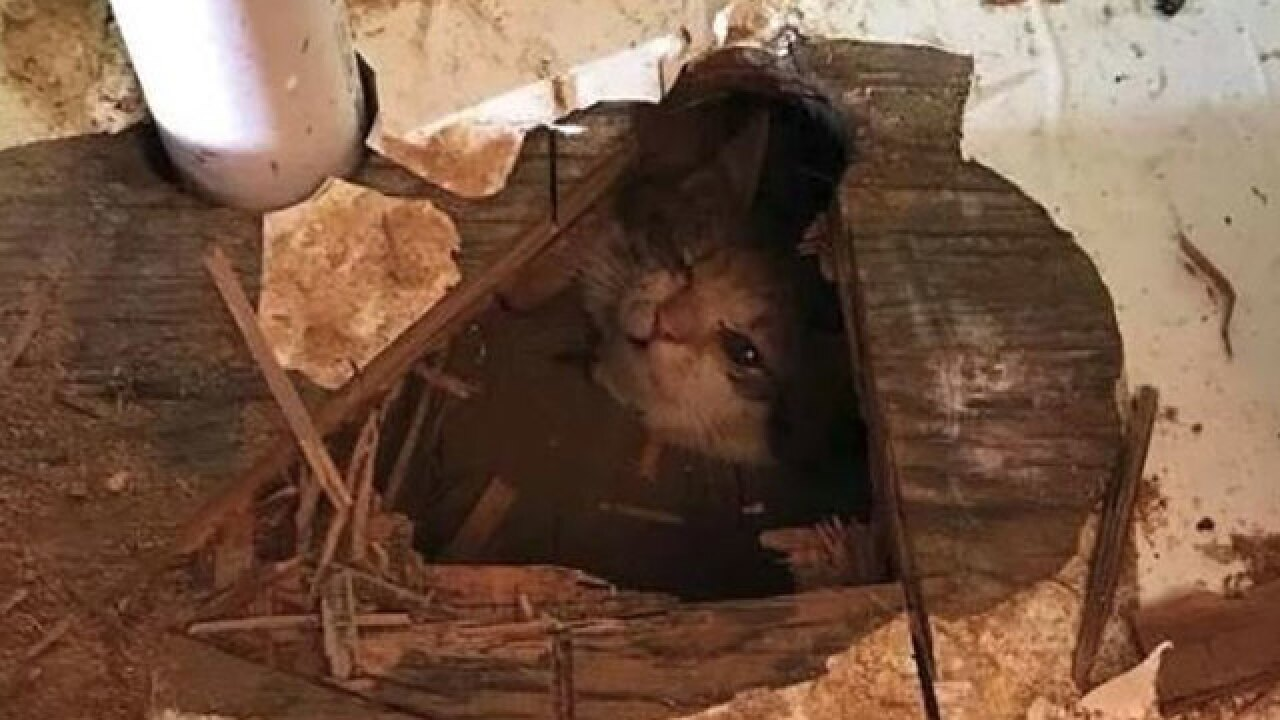 Kitten rescued from hanging by its neck in crawlspace for hours