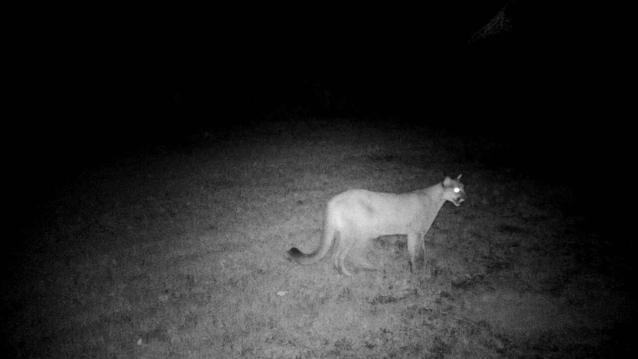 DNR confirms cougar sighting in Marinette County