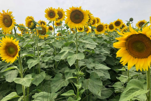 Leatherberry Acres Sunflower Maze now open [PHOTOS]