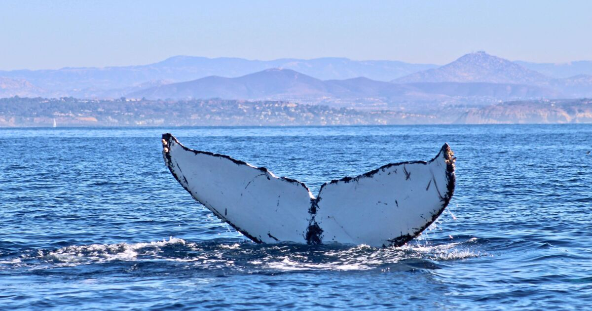 Look out! Where to whale watch in San Diego — by land or sea
