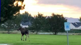 Nampa Moose
